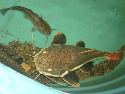 catfish bottom feeders