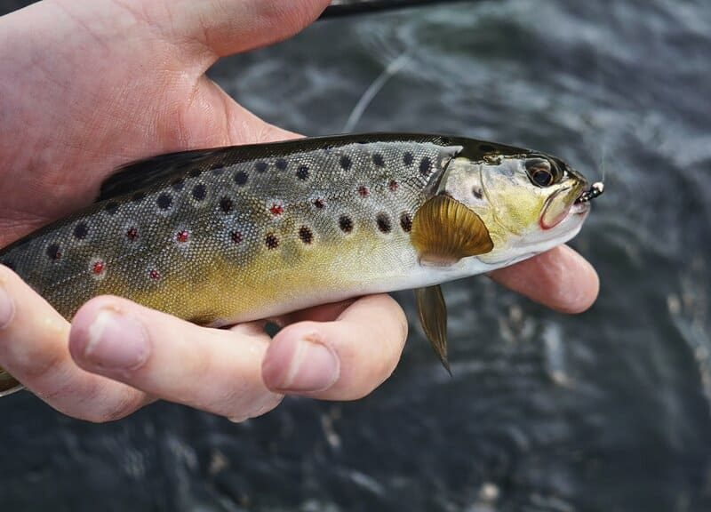 catch brown trout easily